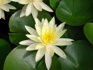 lotus_flowers_1