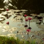 lac-fleur-mer-serenite-sukhotai-137468